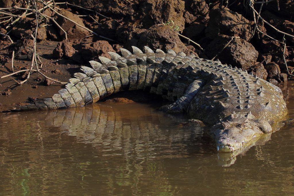 Crocodile américain visible au Costa Rica
