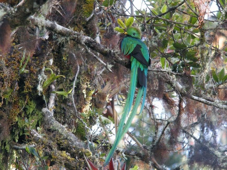 Le quetzal resplendissant