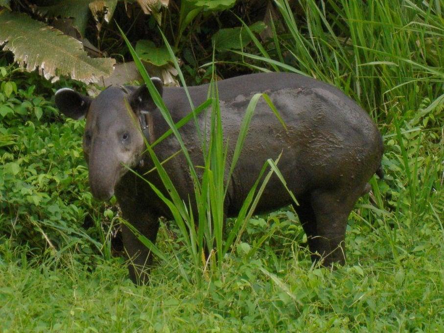 Tapir de Baird