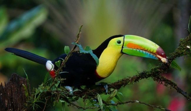 keel-billed-toucan-1021048_1280
