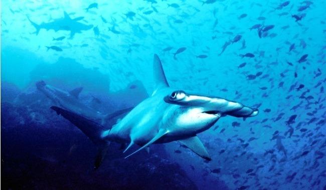 requin-marteau-1