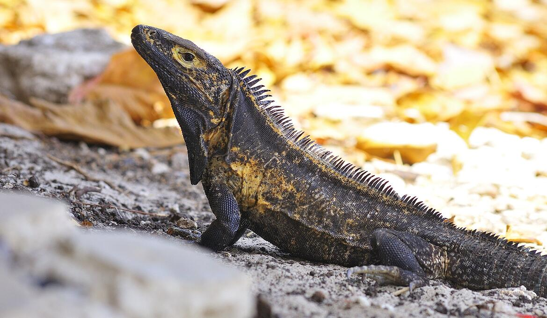 isla-iguana-panama