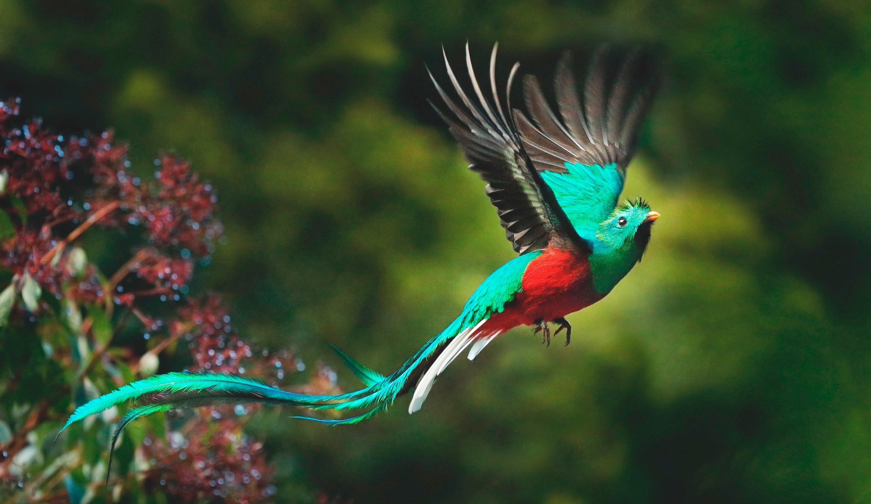 Der Göttervogel Quetzal im Flug. Quelle: Shutterstock \ puraventura